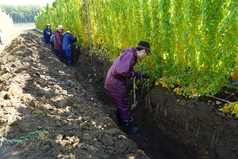 農場ピクニック長いも掘り体験収穫開始