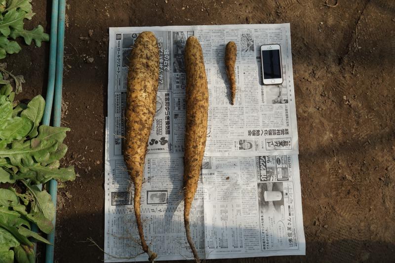 農場ピクニック長いも掘り体験立派な長芋